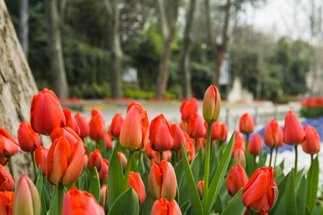 Tulpenvelden kijken in Noord-Holland